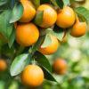 Naranjas del campo de Valencia - Campos de Azahar