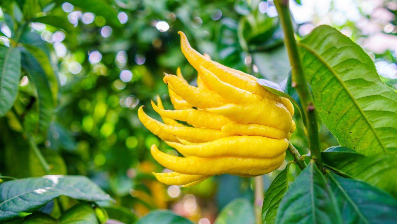 como se come el limón mano de buda - campos de azahar