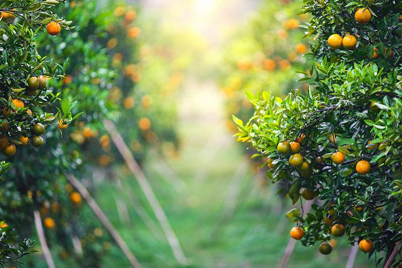 cuidados del naranjo - campos de azahar