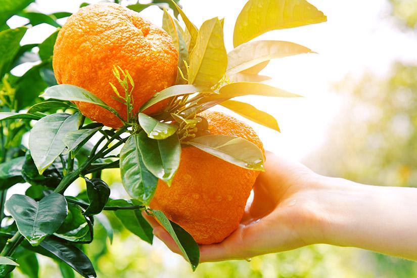 variedades de naranjas - campos de azahar