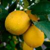 limones berna - campos de azahar